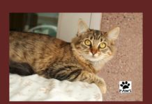 01.03.18 paws of coronado pet of the week butter a cat for adoption