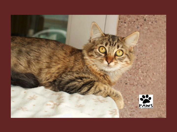Pet of the Week Butter a Charming Cat for Adoption Coronado Times