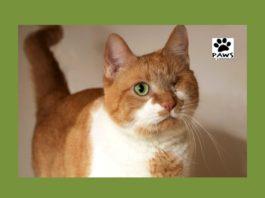 paws of coronado pet of the week 01.17.18 regina a cat for adoption