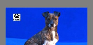 pet of the week 01.10.18 sammy a dog for adoption from paws of coronado
