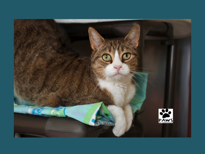 tucker the cat paws of coronado pet of the week 02/14/18
