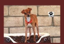 javier a dog for adoption is the pet of the week at paws of coronado