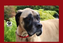03.07.18 paws of coronado pet of the week salvador a big dog for adoption