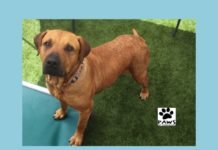 bethany a black mouth cur for adoption is the paws of coronado pet of the week 04.25.18