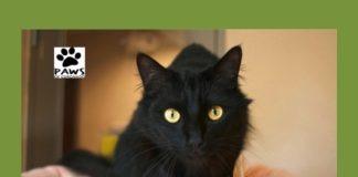 paws of coronado pet of the week 04.11.18 is jordan a cat for adoption