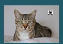 04.18.18 paws of coronado pet of the week luna a tabby cat for adoption