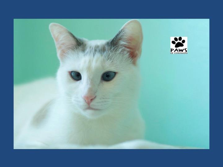 04.04.18 paws of coronado pet of the week is sprinkles a beautiful cat