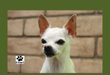 nigel the paws of coronado pet of the week 05.09.18 is a chihuahua for adoption