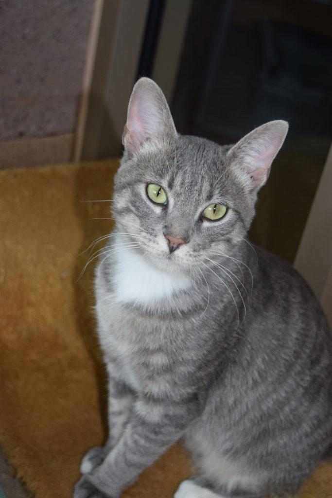 pete a grey tabby cat for adoption loves dogs!