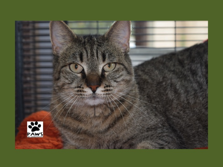 paws of coronado pet of the week 05.16.18 samantha a sweet brown tabby cat for adoption
