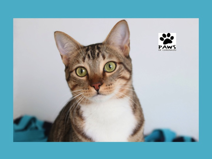 paws of coronado pet of the week 05.02.18 teemo a dsh bengal cat for adoption