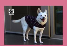 06.06.18 paws of coronado pet of the week amie an eskimo chi dog for adoption