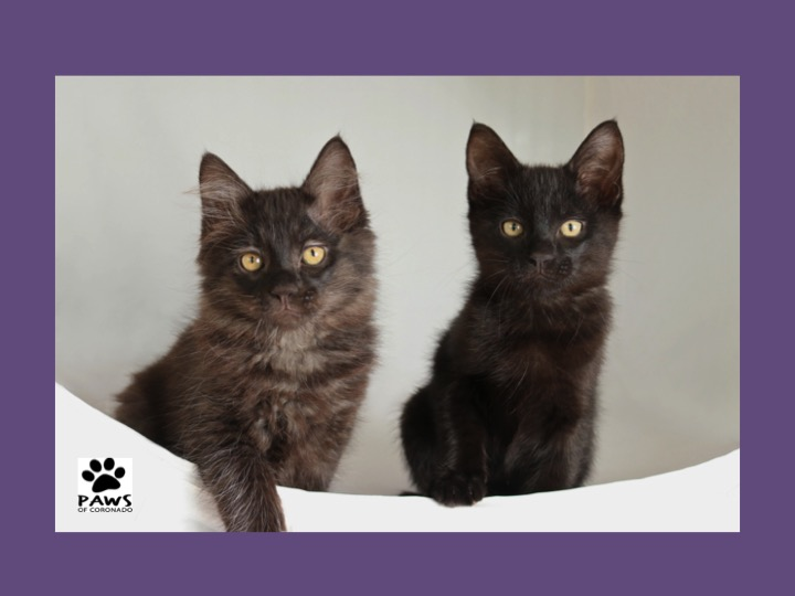 06.13.18 paws of coronado pets of the week calvin and hobbs kittens for adoption