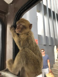 Barbary Macaque monkey