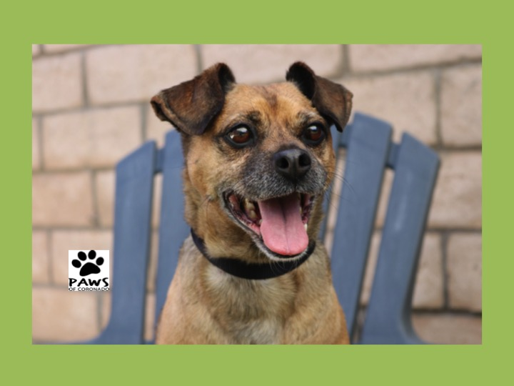 06.20.18 paws of coronado pet of the week puggle a dog for adoptiom