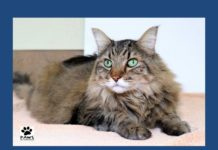 06.27.18 paws of coronado pet of the week tiger a maine coon cat