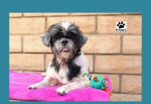 07.11.18 paws of coronado pet of the week lola a Shih Tzu dog for adoption