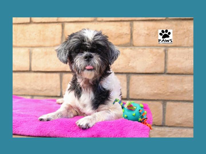 07.11.18 paws of coronado pet of the week lola a Shih Tzu dog for adoption