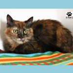 07.18.18 mimi a tortie cat for adoption is the pet of the week at paws of coronado