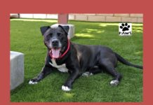 brutus a dog for adoption is the paws of coronado pet of the week 08.29.18