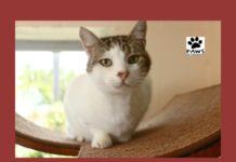 chloe the torbie cat for adoption is the paws of coronado pet of the week 08.01.18