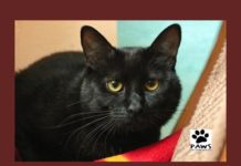 pet of the week 08.15.18 merlin a young cat for adoption from paws of coronado