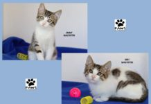 paws of coronado pet of the week 09.05.18 kurt and jimmy kittens for adoption