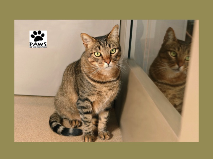 09.26.18 paws of coronado pet of the week otis a brown tabby cat for adoption