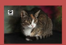 09.12.18 paws of coronado pet of the week patty a tabby cat for adoption
