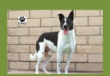 10.03.18 paws of coronado pet of the week is dexter a border collie dog for adoption