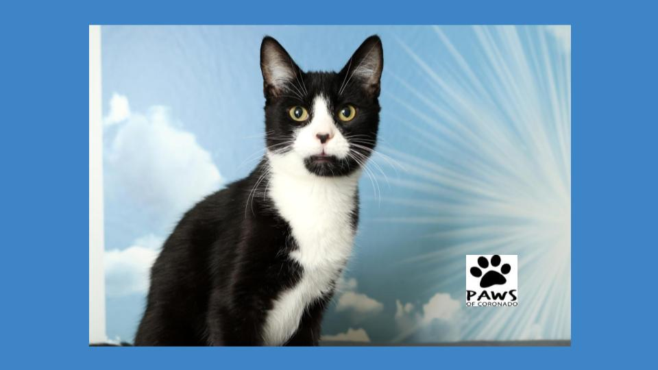 meet felix the cat the paws of coronado pet of the week 10.24.18