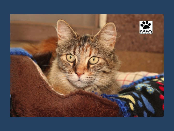 10.10.18 paws of coronado pet of the week rusty a handsome cat for adoption