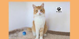 11.07.18 paws of coronado pet of the week bosie a bodacious cat for adoption