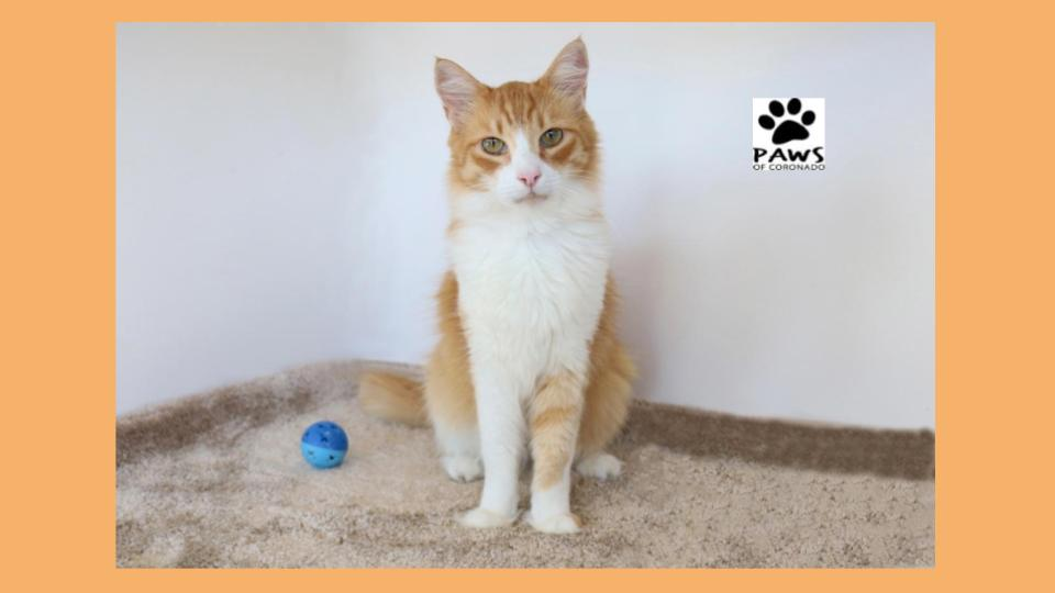 11.07.18 paws of coronado pet of the week bosie a bodacious cat for adoption