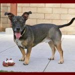 11.14.18 paws of coronado pet of the week milo a terrier blend dog for adoption