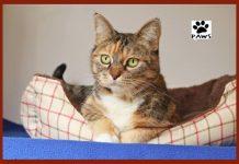 paws of coronado pet of the week 11.29.18 nala a tabby cat for adoption