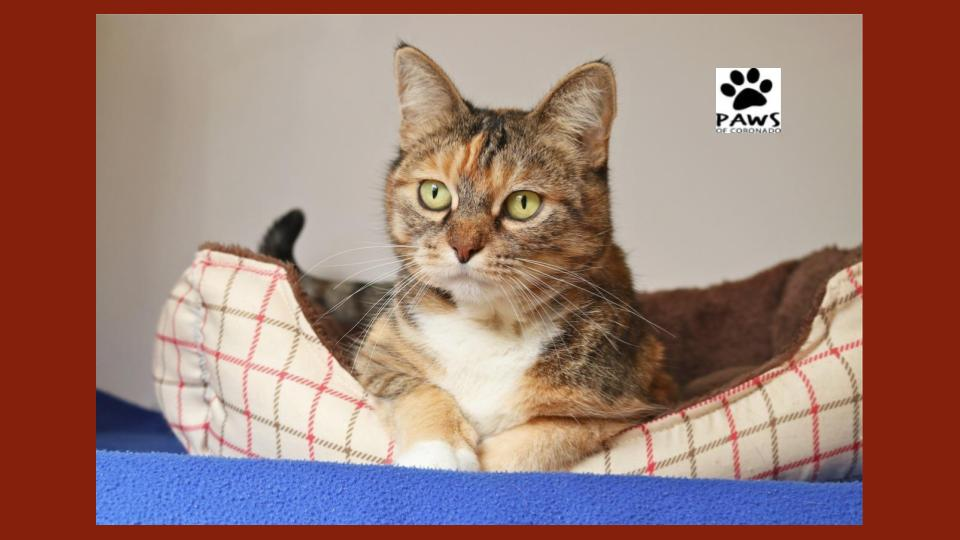 paws of coronado pet of the week 11.29.18 nala a tabby cat for adoption