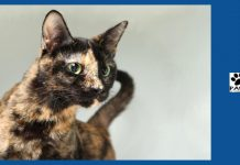 11.21.18 paws of coronado pet of the week zelda a tortie cat for adoption