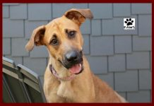 pet of the week 12.19.18 becky a black mouth cur for adoption from paws of coronado