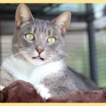 12.12.18 paws of coronado pet of the week brady a grey tabby cat for adoption