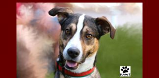 kobe a shepherd dog for adoption from paws of coronado is the pet of the week 12.05.18