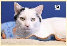 paws of coronado pet of the week 12.26.18 simon a cat for adoption