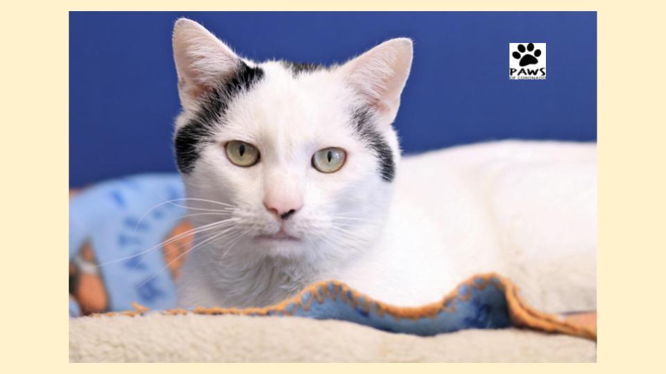 paws of coronado pet of the week 12.26.18 simon a cat for adoption