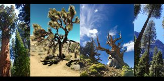 Sierra Trees, 3 images by Andrea Kade