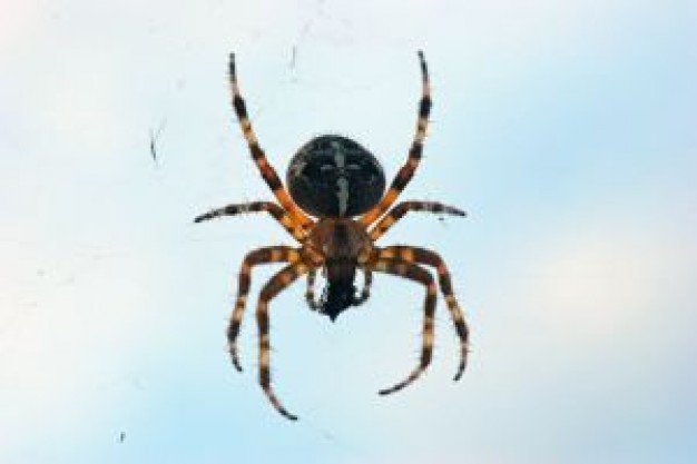 photographs by Mark Chappell |San Diego Garden Spiders